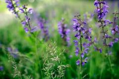 wild blommaorchid Royaltyfri Foto