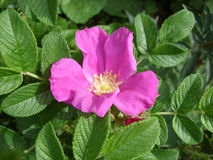 wild blommarose royaltyfri bild