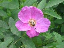 wild blommarose royaltyfria foton