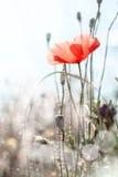 wild blommavallmo Royaltyfri Foto