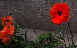wild blommavallmo Fotografering för Bildbyråer