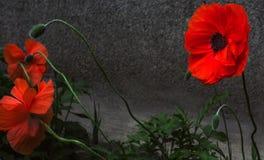 wild blommavallmo Royaltyfria Foton