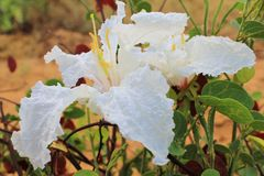 Wild blommor - afrikanskt kaffe Bush 2 Royaltyfri Foto