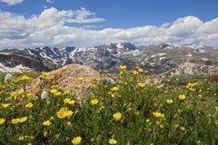Wild blommor i Beartoothsen Royaltyfri Bild