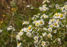 Wild blommor i fält Royaltyfri Foto