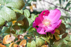 wild blomningrose Royaltyfri Fotografi