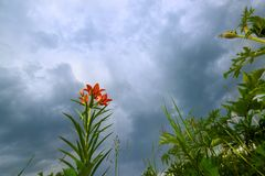 Wild blooming orange lily flowers on beautiful blue Thunder Sky background. Closeup. Wild blooming orange lily flowers on beautiful blue Thunder Sky background stock image