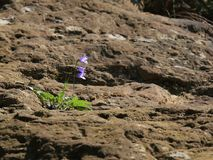 Wild blooming purple flower on the rock. Wild blooming purple bluebell flower on the rock. North Caucasus, Russia Stock Photo