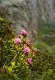 Wild blooming rhododendron Stock Image