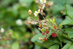 Wild blooming strawberry plant with green leaves and ripe berries Royalty Free Stock Photos