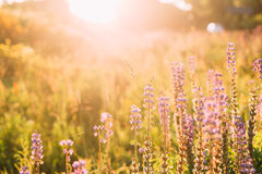 Wild Bloomy Flowers Lupine, Lupinus, Lupin In Sunset Sunrise Stock Images