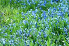 Wild blu flowers Royalty Free Stock Photo