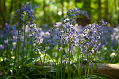 Wild Blubells flowers in woodland in Kent, England Stock Photo