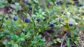 Wild bluberries bush pan stock footage