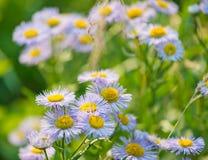Wild blue asters. In garden Stock Photos