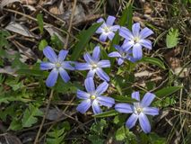 Wild blue beautiful flowers. Spring time wild blue beautiful flowers awaken in nature stock images