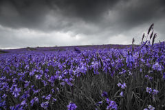 Wild Blue Bell Landscape Royalty Free Stock Image