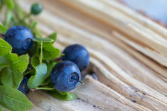 Wild blue berries. On the forest floor Royalty Free Stock Image