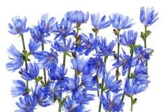 Wild blue cornflower background Stock Photography