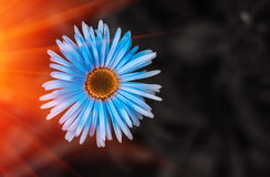 Wild  blue flower, camomile in the rays  on a blurred background Royalty Free Stock Photo