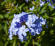 Wild  blue flowers in Montenegro Royalty Free Stock Photos
