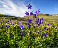 Wild blue flowers in mountains Royalty Free Stock Image