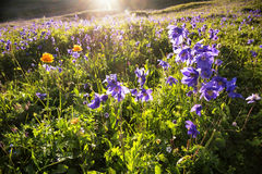 Wild blue flowers in mountains stock images