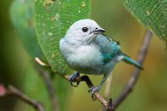 Tanager portrait. Wild Blue Gray Tanager closeup, northern Costa Rica Royalty Free Stock Images