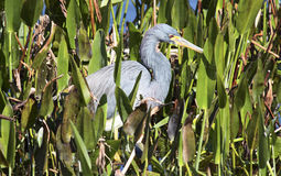 Wild Blue Heron. Central Florida Royalty Free Stock Image