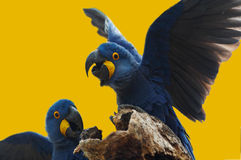Wild blue hyacinth macaw Royalty Free Stock Photography