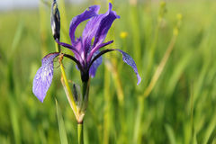 Wild blue iris flowers Royalty Free Stock Images
