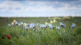 Wild blue iris Royalty Free Stock Image