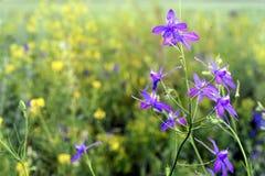 Wild Blue Larkspur Flower Stock Image