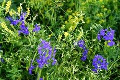 Wild Blue Larkspur Flower Stock Photos