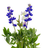 Wild blue lupine Royalty Free Stock Photography