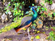 A blue peacock standing Royalty Free Stock Photo