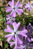 Wild Blue Phlox. Also known as Wild Sweet William is a beautiful flowering plant normally used as a ground cover. The flowers have five petals and can grow up to Stock Photo