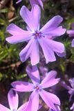 Wild Blue Phlox. Also known as Wild Sweet William is a beautiful flowering plant normally used as a ground cover. The flowers have five petals and can grow up to Stock Photos