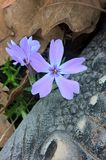 Wild Blue Phlox Royalty Free Stock Photo