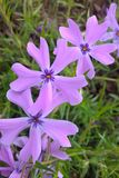 Wild Blue Phlox. Phlox divaricata, the wild blue phlox, is a semi-evergreen perennial. Flowers appear in late spring and early summer. They are pleasantly Royalty Free Stock Photography