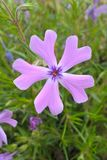 Wild Blue Phlox. Phlox divaricata, the wild blue phlox, is a semi-evergreen perennial. Flowers appear in late spring and early summer. They are pleasantly Stock Images