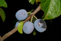 Wild blue plums in the dark of the tree. stock photos