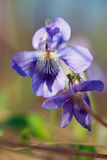 Wild blue primrose Stock Photo