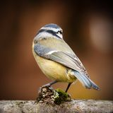 Wild blue tit from behind. Wild blue tit bird portrait close up native to Europe perched on a log looking away from the camera. Beautiful wing tail feathers Stock Photos