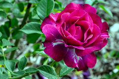Wild Blue Yonder Rosa Fotografia Stock