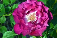 Wild Blue Yonder Rosa Fotografie Stock Libere da Diritti