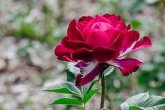 Wild Blue Yonder Rose Profile Images libres de droits
