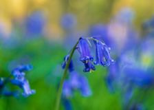 Wild bluebell flowers on blurred background. Close up. royalty free stock images