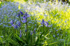 Wild bluebell flowers in springtime royalty free stock image