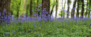 Wild bluebell woods Royalty Free Stock Image